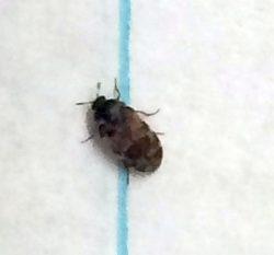 carpet/larder/hide/skin beetle