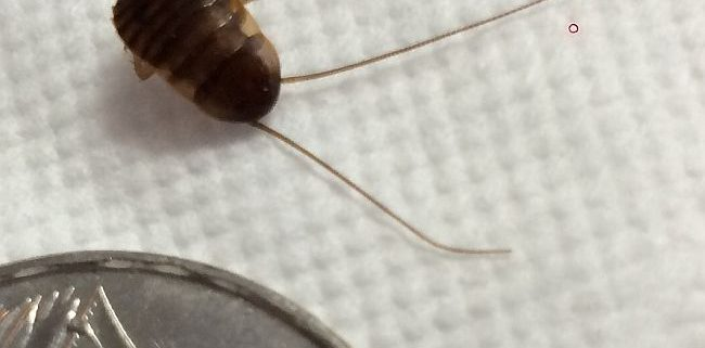 Young Cockroach nymph