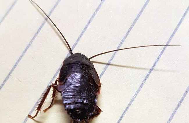 nymph of a cockroach