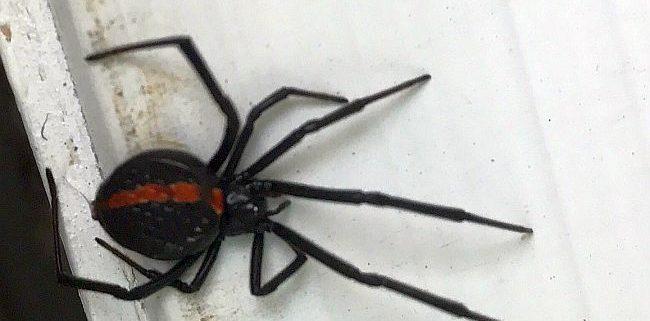 Northern Black Widow spider
