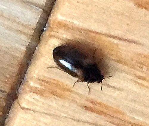 carpet beetle control s australia carpet vidalondon