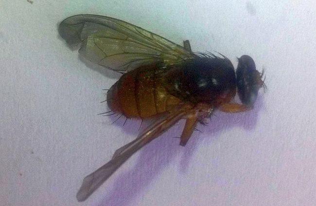 Parasitic fly