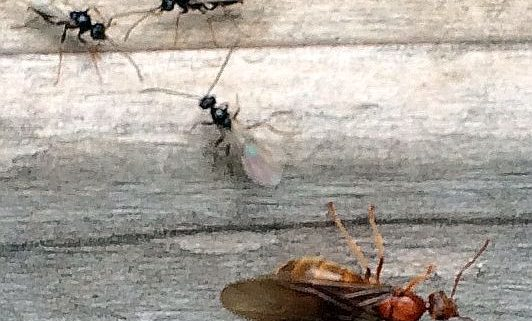 Female and male ants