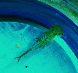 fairy shrimp crustacean