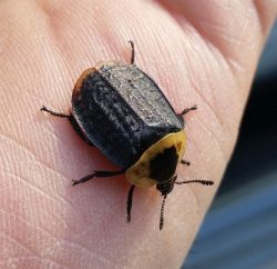 American carrion beetle