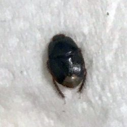 burrowing bug