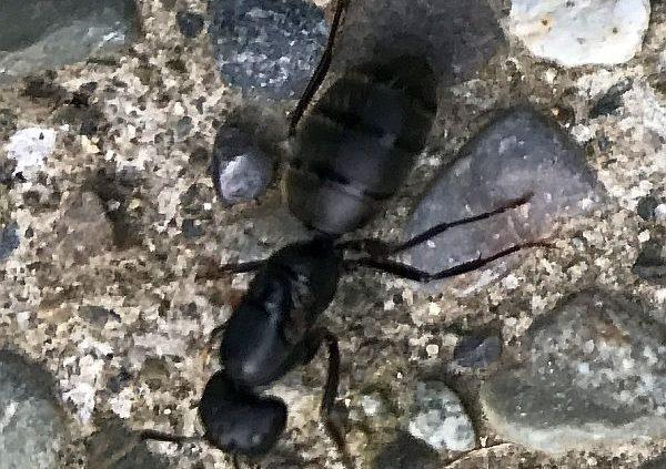 Future queen carpenter ant