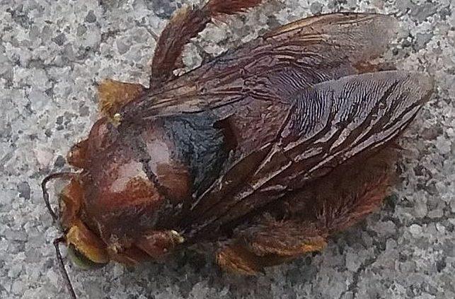 bumble bee or a carpenter bee