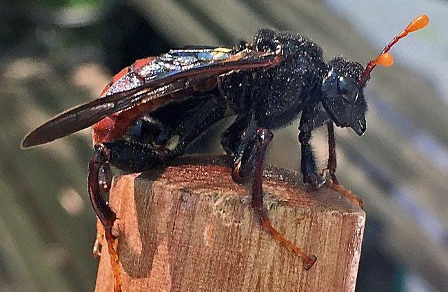 male elm sawfly