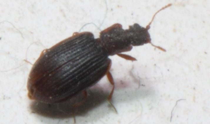 minute brown scavenger beetle