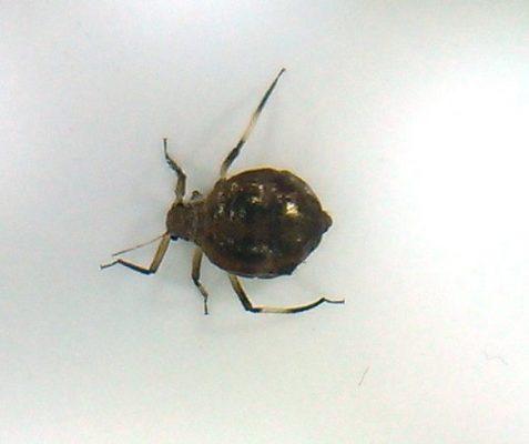 Aphid (plant louse)