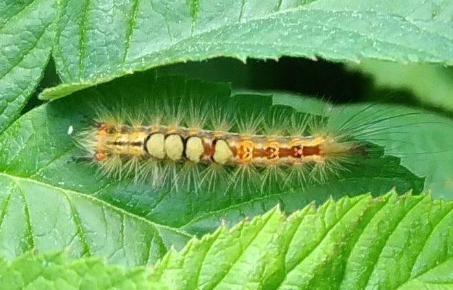 tussock moth