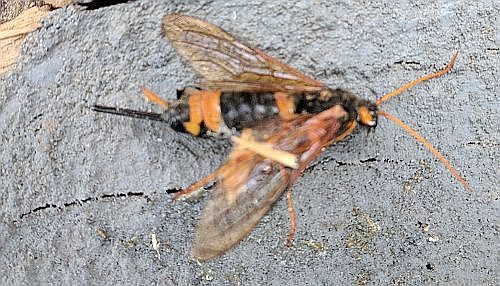 Wood wasp