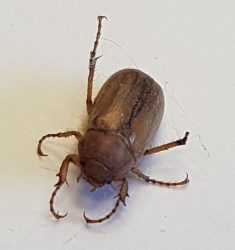 scarab beetle (June bug)