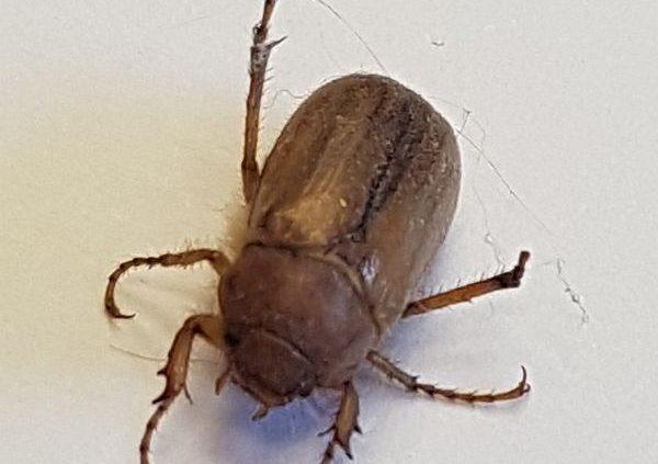 scarab beetle (June bug)