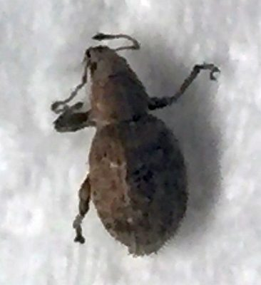short-snouted/broad-nosed weevil