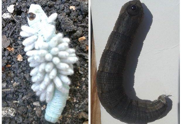 caterpillars of Abbott's sphinx moth