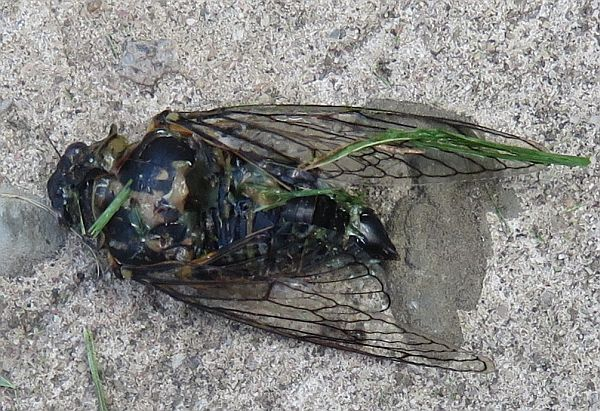 'dog-day' cicada