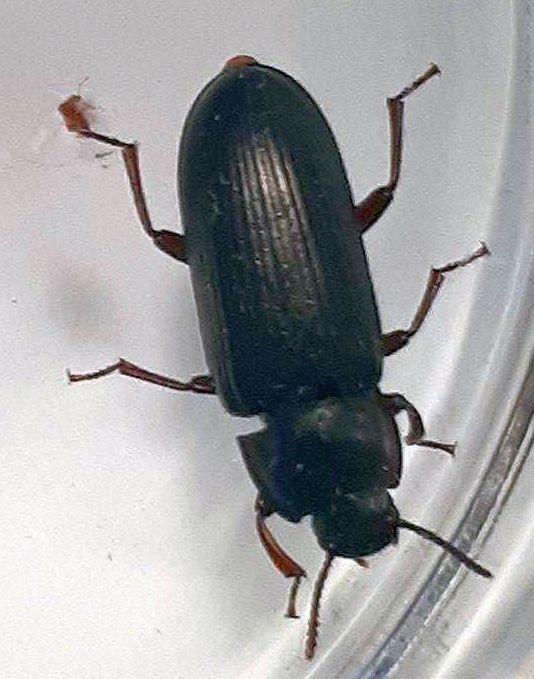 Darkling Beetle Pest Control Canada