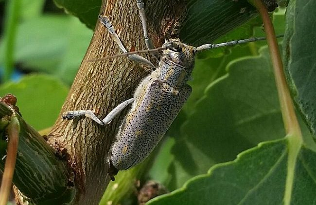 roundheaded poplar borer