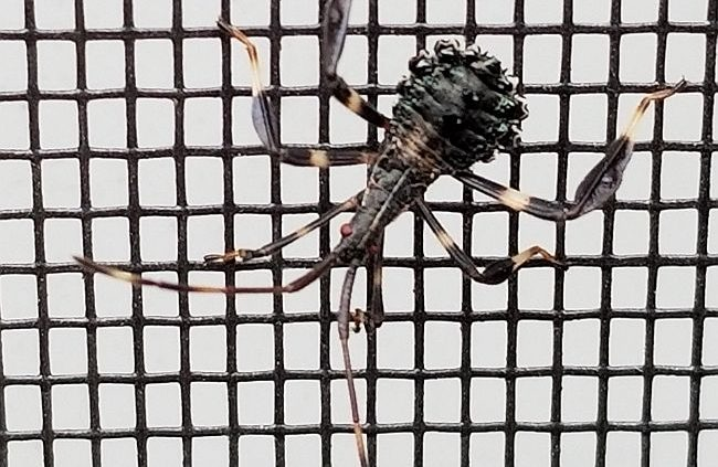 leaf-footed bug nymph