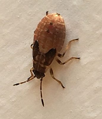 dirt-colored seed bug or false chinch bug