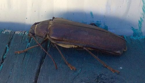 long-horned wood-boring beetle