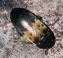 larder beetle, Dermestes lardarius