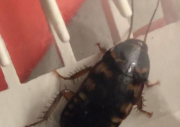 Australian cockroach nymph