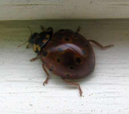 eye-spotted lady beetle