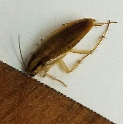 German cockroach