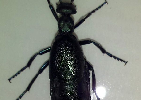 oil beetle, a type of blister beetle