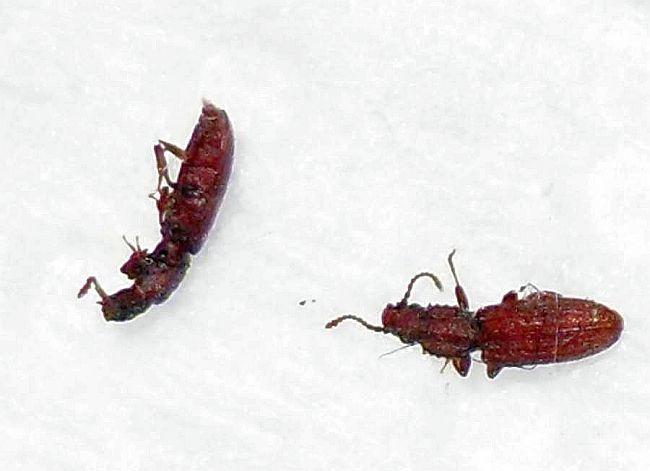 Sawtooth Grain Beetle