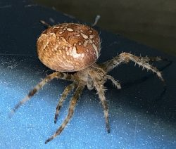 female orb-weaving spider