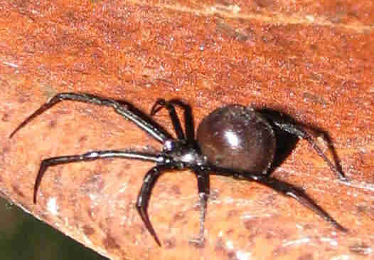 Steatoda grossa False Black Widow  Spider