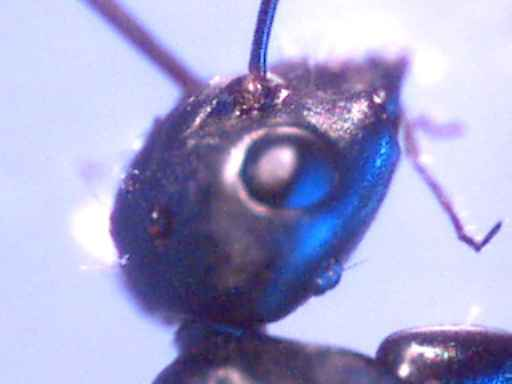 c_ant_queen_head_200x_comp80