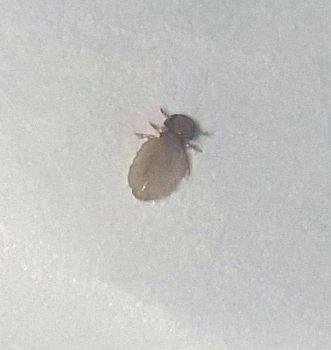 biting louse