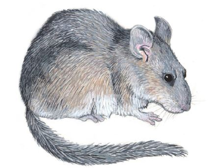 Bushy Tailed woodrat