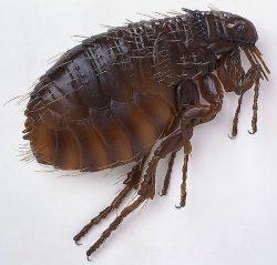 flea1