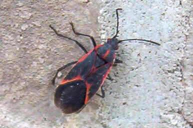 Box Elder Bugs Pest Control Canada