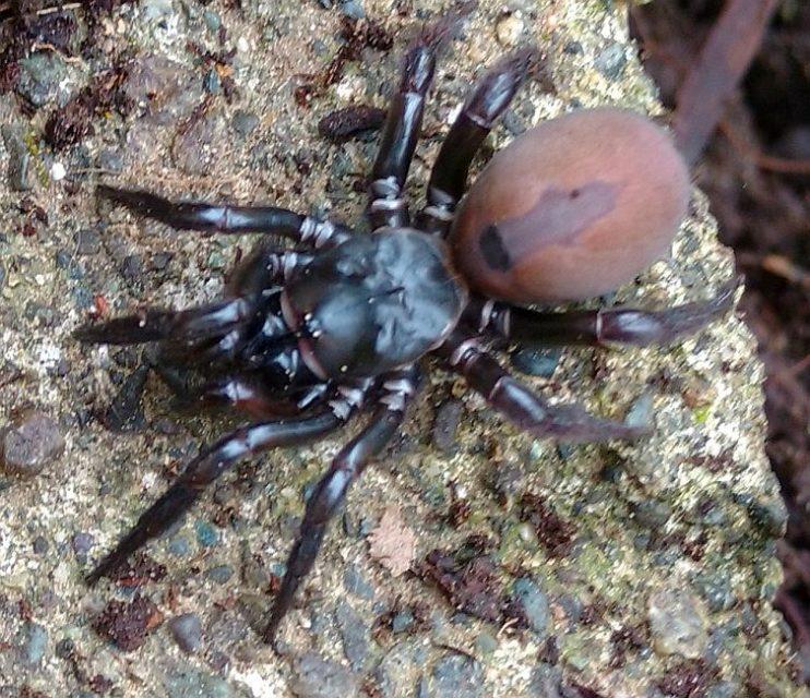 folding-door trapdoor spider & folding-door trapdoor spider - PEST CONTROL CANADA