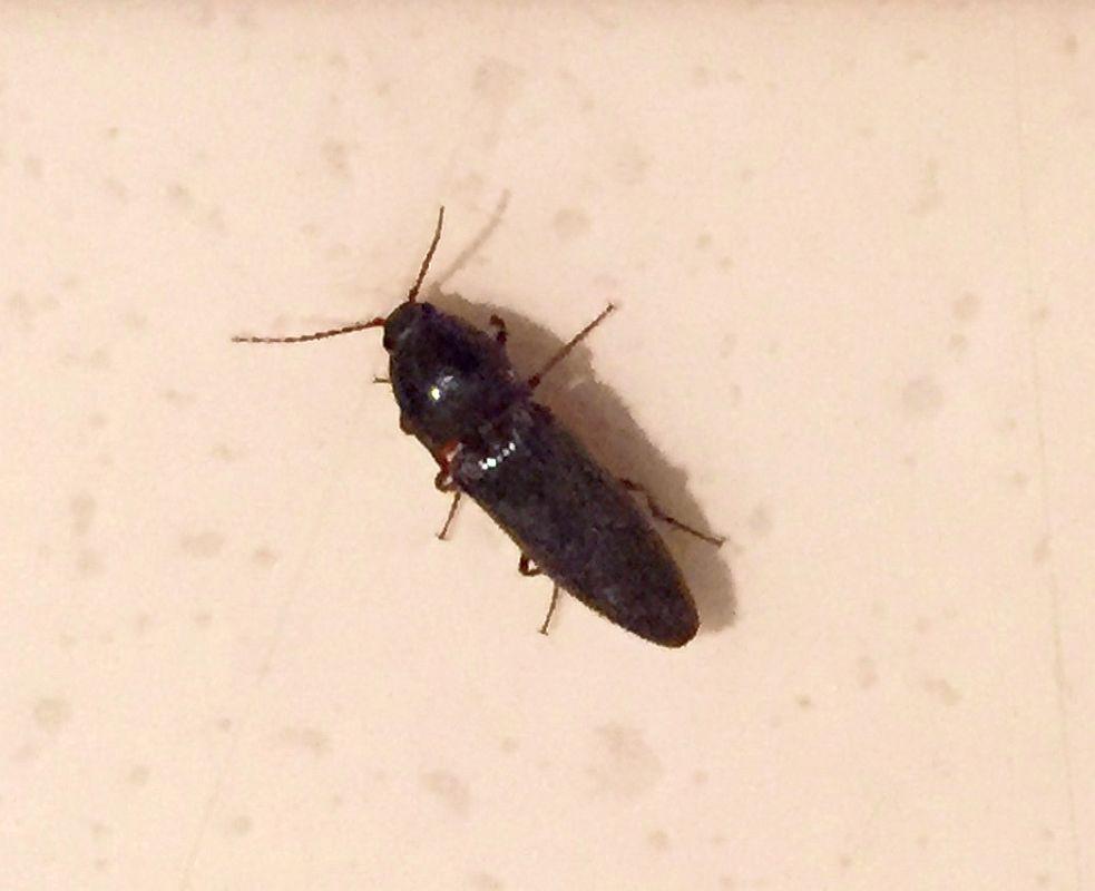 Click Beetle Pest Control Canada