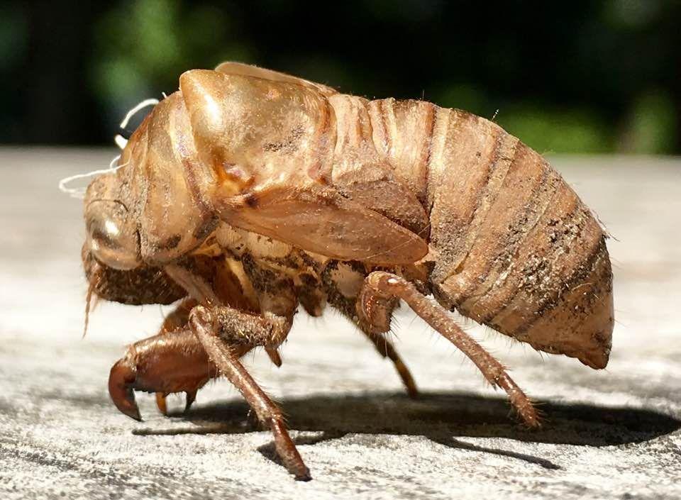 Cicada Exoskeleton Pest Control Canada