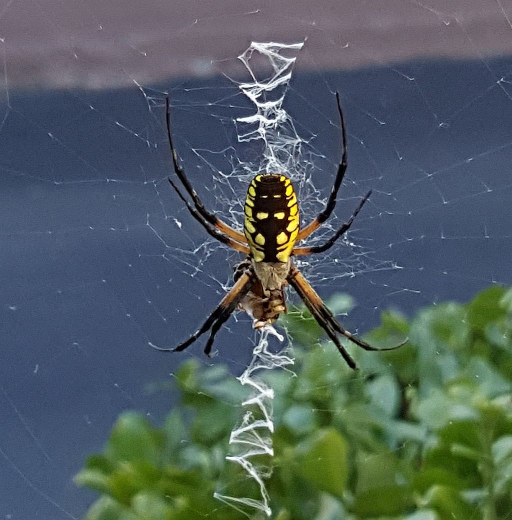 Common Orb Weaving Spider Pest Control Canada