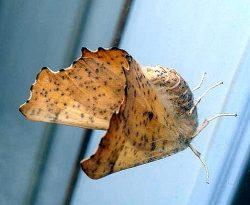 moth in the family Geometridae