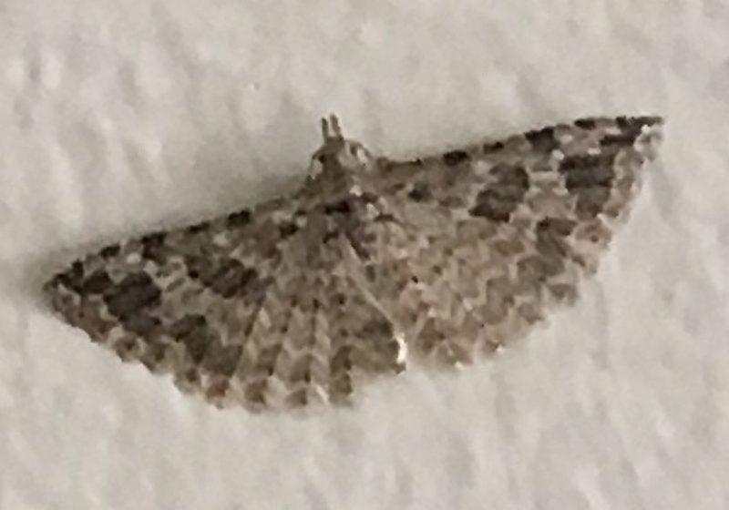 Moth In The Family Alucitidae