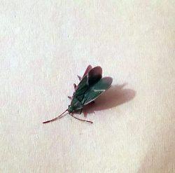 harmless boxelder bug
