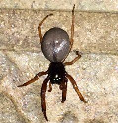 broadfaced sac spider
