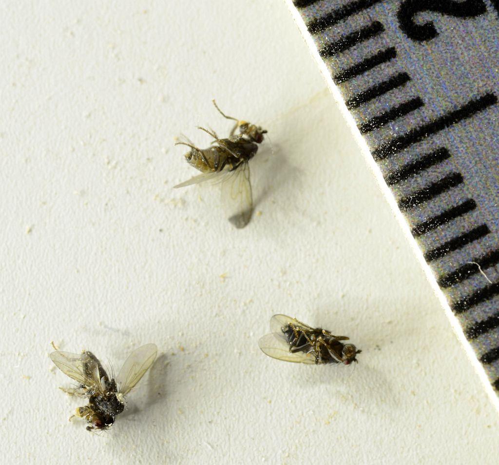 Phorid Flies Pest Control Canada