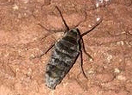 Wingless Moth